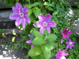 テッセンのお花